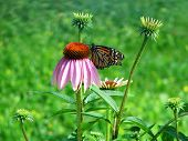 Monarch Butterfy And Eucchanasia Flower