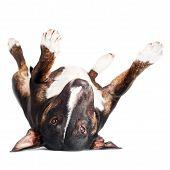 black bull terrier dog lying upside down