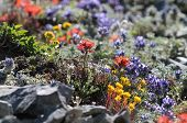 High Alpine Wildflowers