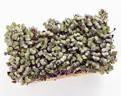 Growth Purple Garden Cress Isolated On A White Background Shot From Above