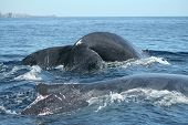 Two Humpback Whales Preparing To Dive