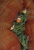 Anémona de Raja Ampat Indonesia Pacífico falso payaso (amphiprion ocellaris) en la anémona de mar (él