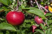 Ripe red MacIntosh apple in the orchard.