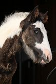 Nice Irish Cob Foal On Black Background