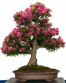 Pink Flower Of A Azalea Bonsai Tree