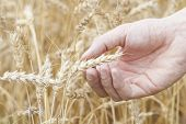 Hand Holding Ear Of Ripe Wheat (triticum).