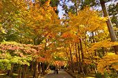 KYOTO - NOVEMBER 28: Tourist walk under brilliant fall foliage at Ryoan-ji Temple November 28, 2012