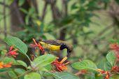 Olived-backed Sunbird Feeding On Nectar