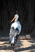 Stork (ciconia)