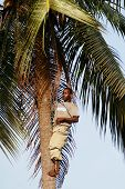 Black African Climbed To The Top Of A Palm Tree.