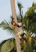 African Man Down From Palm Trees With Coconut In Hands.