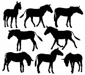 Set of editable vector silhouettes of zebra, ponies or donkeys