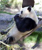 Panda baby Bear eating leafs