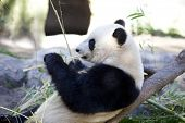 Panda baby Bear eating bamboo