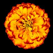 Yellow Orange Marigold Flower Isolated On Black Background