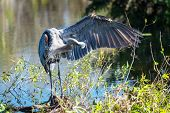 Great blue Heron in Everglades NP,Florida