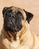 picture of bull-mastiff  - An outdoor portrait of a bull mastiff looking up - JPG