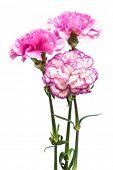 three garden carnation on a white background