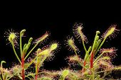 stock photo of carnivorous plants  - Drosera madagascariensis Carnivorous Plant That Eating Insect