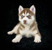 Red Husky Puppy