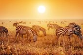 Zebras herd on savanna at sunset, Africa. Safari in Serengeti, Tanzania