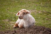 Tired newborn springtime lamb lying in a meadow