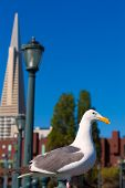 San Francisco seagull at Pier 7 and downtown in California USA