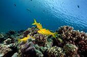 Yellowsaddle Goatfish And Ocean