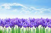 Dwarf purple iris flowers