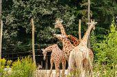 Group Of Giraffe Playing