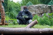 Gorilla With A Sprig