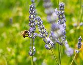 Bee On Lavender In The Sunlight