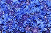 Closeup Of Cornflowers