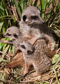 Meerkat & Babies
