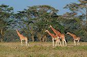 Rare Rothschilds giraffes (Giraffa camelopardalis rothschildi), Lake Nakuru National Park, Kenya