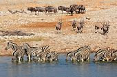 Plains zebras, gemsbok and blue wildebeest at a waterhole, Etosha National Park, Namibia
