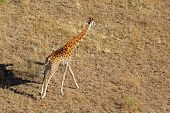 Aerial view of a running giraffe (Giraffa camelopardalis), South Africa
