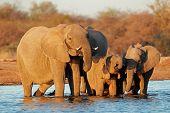 African elephants (Loxodonta africana) drinking water, Etosha National Park, Namibia