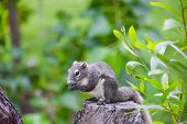 Asian Grey Squirrel Eating A Nut On The Top Of Tree Trunk In The Wood