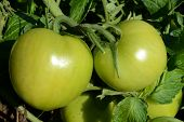 Fresh green tomatoes.