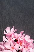 pic of oleander  - Pink oleander flowers close up on black stone background - JPG