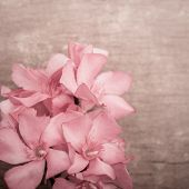 Pink Oleander Flowers Close Up On Wooden Background