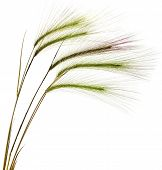 Decorative colorful spikelets  Isolated on white background