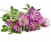 Closeup of red clover flower (Trifolium pratense) isolated on white background