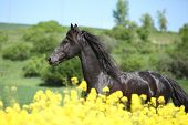 Amazing Friesian Horse Running In Colza Field