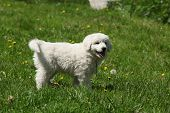 Nice Puppy Of Slovakian Chuvach Standing In The Grass