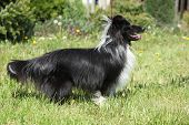 stock photo of sheltie  - Amazing sheltie smiling in the garden in summer - JPG