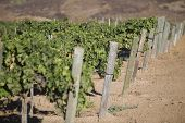 Grape vines in vineyard