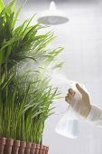 Closeup of a scientist spraying plants against white background