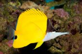 Yellow Longnose Butterfly In Aquarium